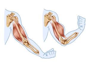 Teoría del músculo antagonista